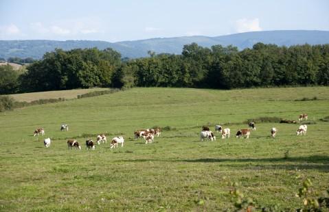 Pré de vaches en Bresse