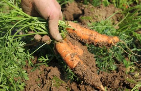 carotte