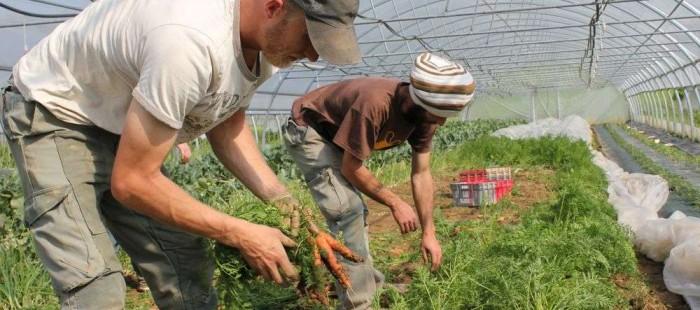 récoltes carottes